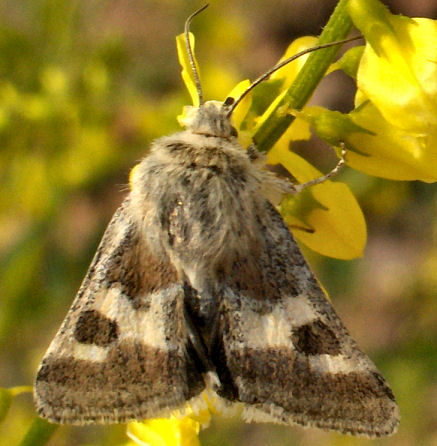 ID or even Family on this moth - Schinia aetheria