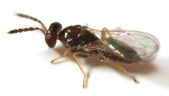 Eulophid wasp