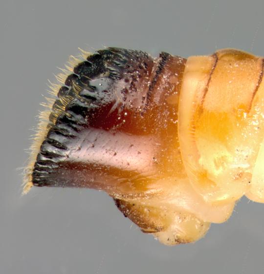 Lymexylidae, Chestnut timberworm, end of abdomen - Melittomma sericeum