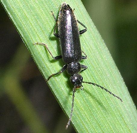 Black beetle. - Pedilus - male