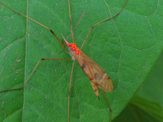 Crane Fly with mites - Tipula ultima - female