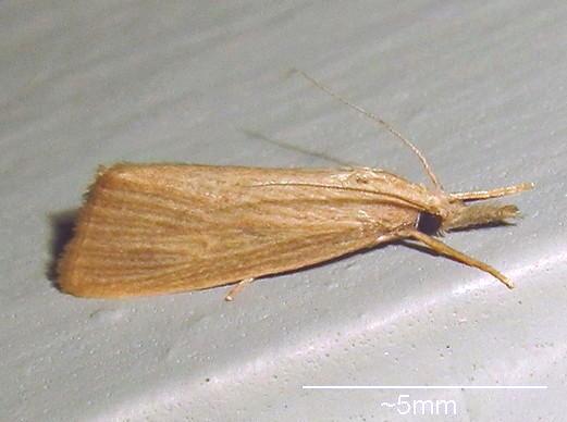 Hodges #5478 - Diatraea evanescens