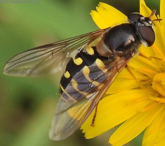 Syrphid fly - Dasysyrphus intrudens - female