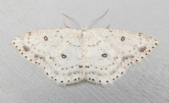 Pennsylvania Moth - Cyclophora pendulinaria