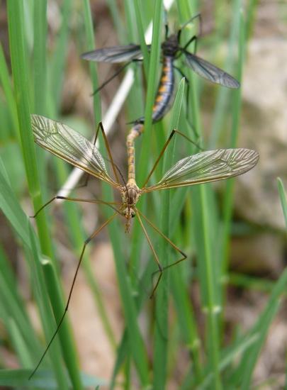 Cranefly id help? - Tipula disjuncta - male - female