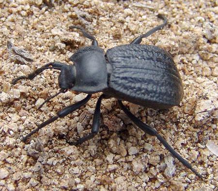 Carved Darkling Beetle - Stenomorpha