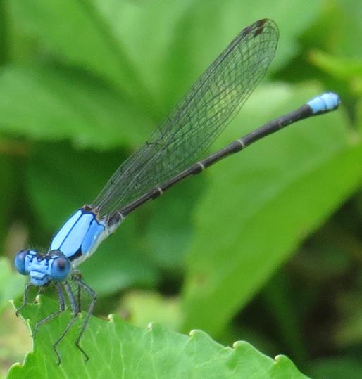 Blue-fronted Dancer (Argia apicalis)? - Argia apicalis - male