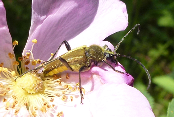 Beetle - golden hairy - Lepturobosca chrysocoma