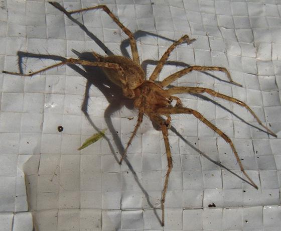 Grass Spider? - Agelenopsis - male