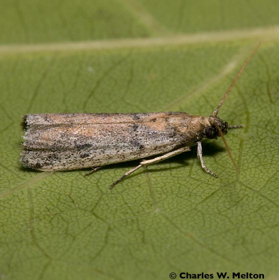 Moth - Anderida sonorella
