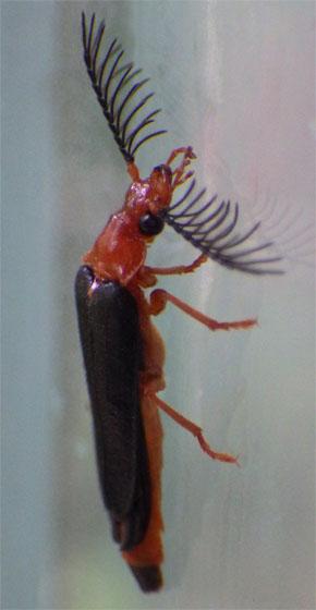 Unidentified insect - Zarhipis integripennis - male