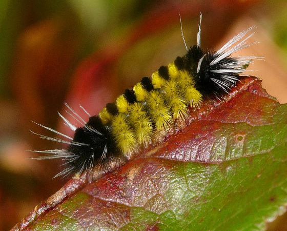 caterpillar - Spotted tussock moth? - Lophocampa maculata
