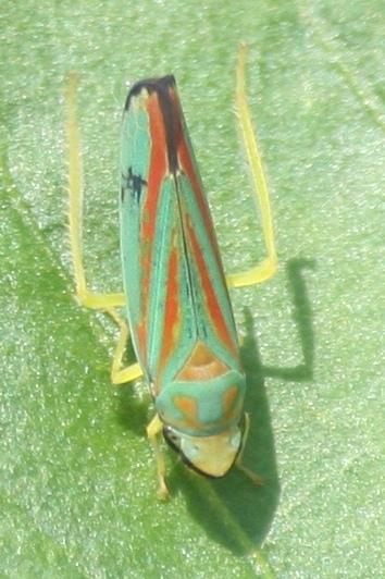 Graphocephala? - Graphocephala coccinea