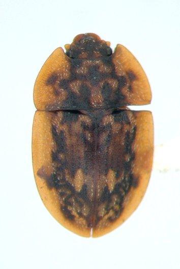 Lobiopa undulata
