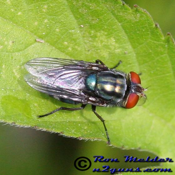 Blow fly - Cochliomyia macellaria