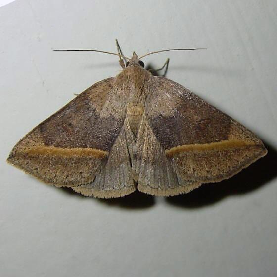 ID uncertain - Argyrostrotis flavistriaria