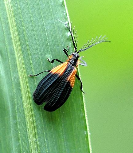 Net-winged beetle - Caenia dimidiata