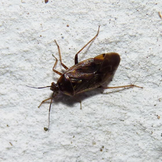 Lygus lineolaris? - Lygus