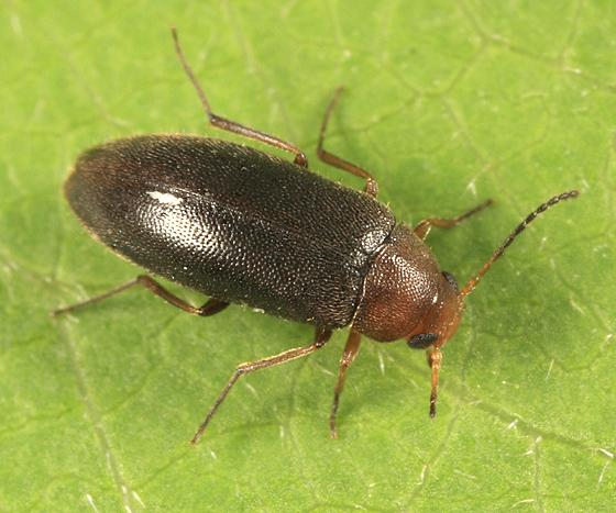 False Darkling Beetle - Symphora flavicollis
