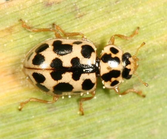 Ladybird Beetle - Anisosticta bitriangularis