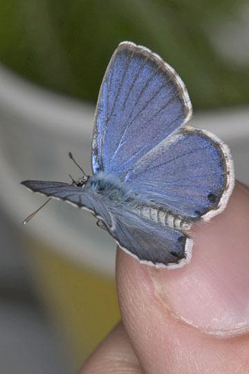 Miami Blue - Cyclargus thomasi - male