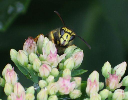 Aerial Yellowjacket - 2 - Dolichovespula arenaria