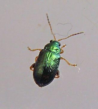 Flea Beetle - Crepidodera nana