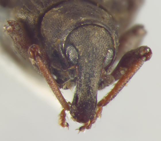 Curculionidae, head - Bagous americanus