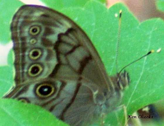 Is this a Creole Pearly-eye?  - Lethe creola