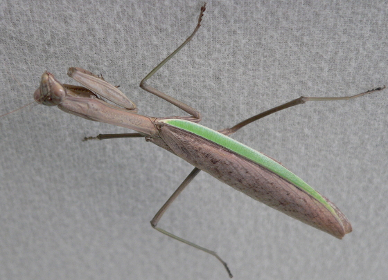 Chinese Mantid - Tenodera sinensis - female