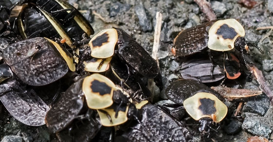 BeetleAmericanCarrion_Necrophila_americana05292018_CD_ - Necrophila americana - male - female