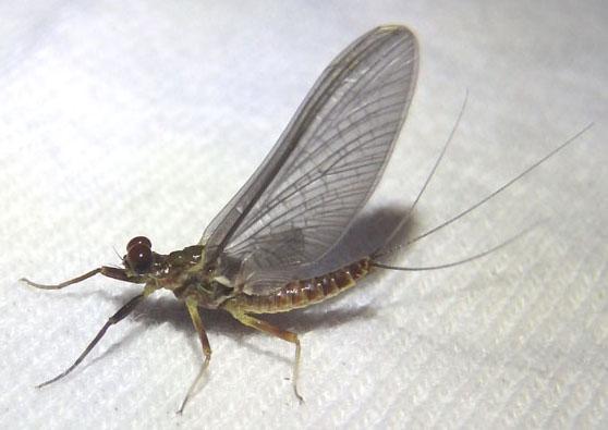 gray mayfly - Drunella coloradensis