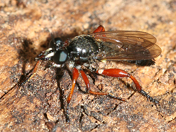 red-legged robber - Laphria sadales - male