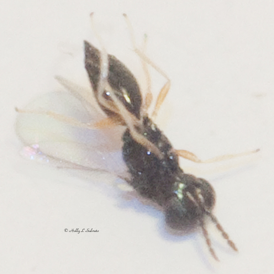 Unknown Parsitic Wasp (possibly Eulophid) of a Three-spotted Skipper larva