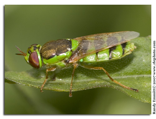 Green Fly - Odontomyia cincta - female