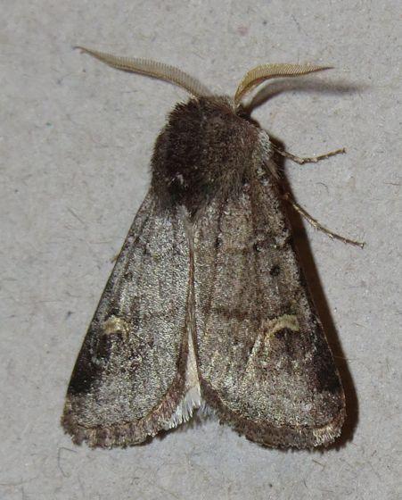 Fringed Dart - Hodges#10694 - Eucoptocnemis fimbriaris