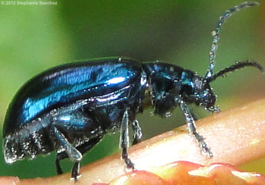 blue beetle - Altica