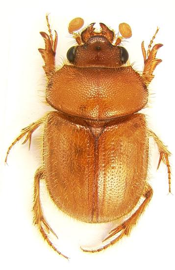 common ochodaeid - Cucochodaeus sparsus - male