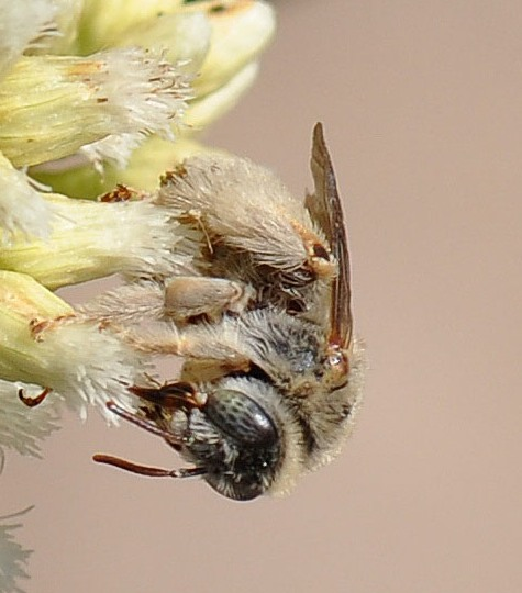 small gray bee - Diadasia ochracea - female