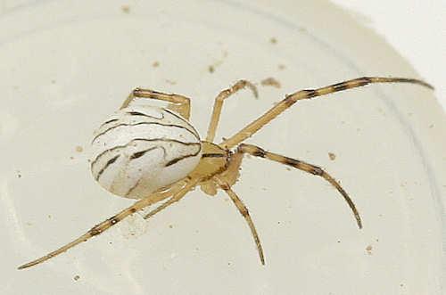 immature spider -? - Latrodectus hesperus