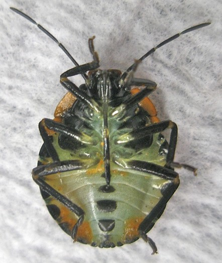 Unknown beetle, apparently infested with a fungus - Chinavia hilaris