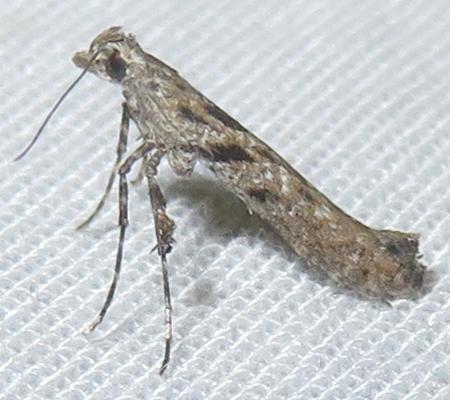 Moth - Caloptilia