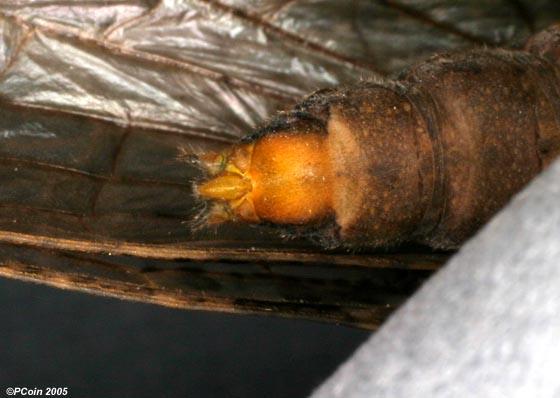 Summer Fishfly - Chauliodes pectinicornis - female