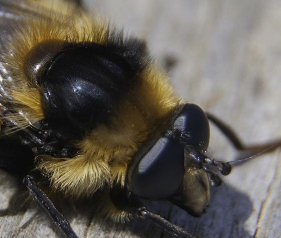 Bumble Bee-Mimic Syrphid? - Criorhina nigriventris - male