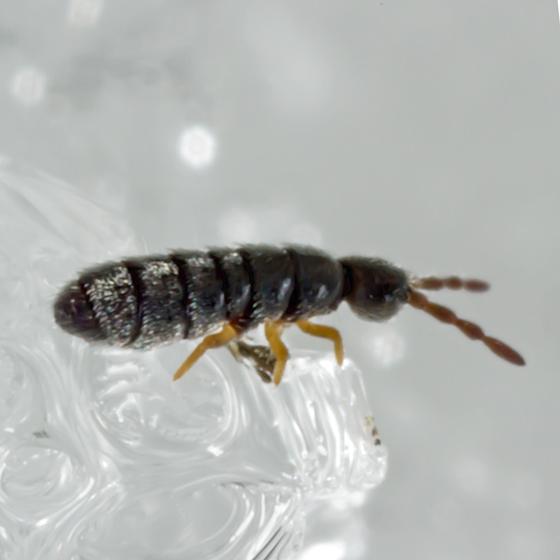 Unknown Snow Flea - Desoria canadensis