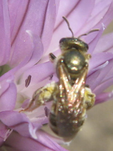 Shiny little bee in flowering chives - Halictus confusus - female