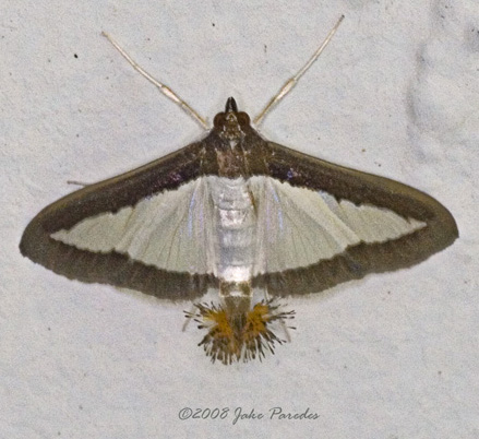 Brown-bordered white moth - Diaphania hyalinata