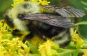 Bumble Bee on Solidago - Bombus fernaldae