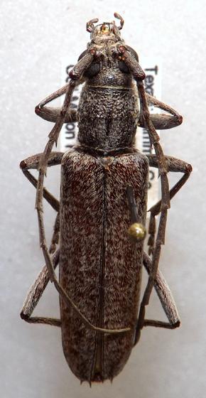 Anelaphus ? - Aneflus protensus