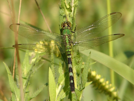 Eastern Pondhawk? - Erythemis simplicicollis - female